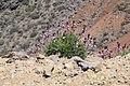 La Palma - San Andres y Sauces - LP-4 + Erysimum scoparium 07 ies.jpg