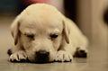 Labrador retriever puppy MZ7 0042.jpg