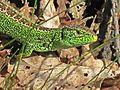 Lacerta agilis (Sand Lizard) male, Mookerheide, the Netherlands - 2.jpg