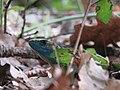 Lacerta viridis, Sićevačka klisura, Niš, Serbia (37).jpg
