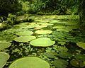 Lago das Vitórias regias - panoramio.jpg