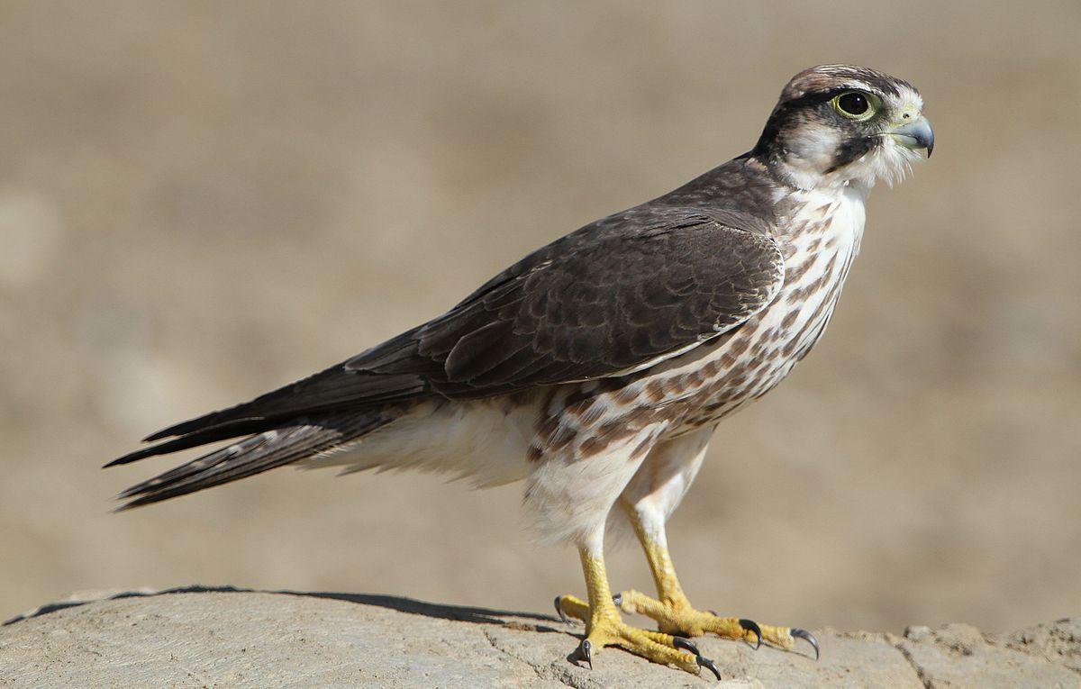 Falco Biarmicus Wikispecies