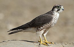 Lanner falcon, Falco biarmicus, at Kgalagadi Transfrontier Park, Northern Cape, South Africa (34447024871).jpg