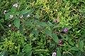 Lantana trifolia 4.jpg