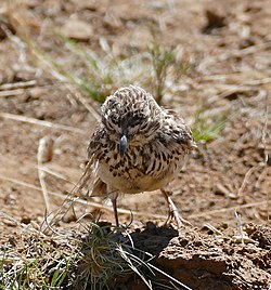 Large-billed Lark (Galerida magnirostris) (32531802756).jpg