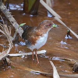 Laterallus leucopyrrhus Red-and-white Crake.JPG