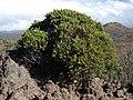 Lava dubautia, Dubautia ciliolata ssp. glutinosa (17074242541).jpg