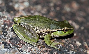 Leaf-Green Tree Frog (Litoria nudidigita) (8398118134).jpg