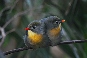 Red-billed leiothrix - Two at Chester Zoo, England