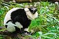 Lemur (26773282519).jpg