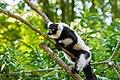 Lemur (36453001100).jpg