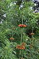 Leonotis nepetifolia-2.JPG
