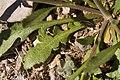 Lepidium virginicum subsp. virginicum - Flickr - aspidoscelis (1).jpg