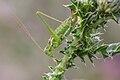 Leptophyes albovittata - Burgenland 2.jpg