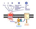 Les Récepteurs Couplés aux Protéines G.png