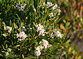 Leucopogon parviflorus 4.jpg