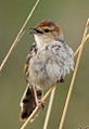 Levaillant's Cisticola, Cisticola tinniens at Rietvlei Nature Reserve, Gauteng, South Africa (15496032920).jpg