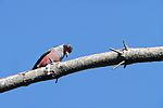 Lewis's woodpecker (Melanerpes lewis ) with bug in it's bill.jpg