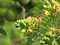 Libidibia coriaria - Divi-divi Tree - Caesalpinia coriaria - WikiSangamotsavam 2018, Kottappuram, Kodungalloor (18).jpg