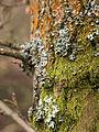 Lichen (detail) (6958243374).jpg