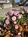 Lightpurpleymauvechrysanthemums.JPG