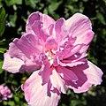 Lilac - Flickr - Stiller Beobachter (1).jpg