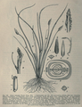 Lilaea subulata Triglochin scilloides Buchenau Hieronymus 1889.png
