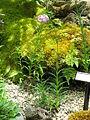 Lilium lankongense1.jpg