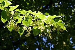Lipa malolistá - rozkvitnutý konárik