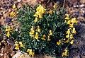 Linaria supina 2.jpg