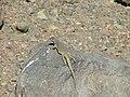 Liolaemus thermarum en roca.jpg
