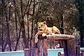 Lion in the Aragon Zoo.jpg