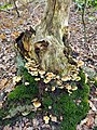 Lisse - Keukenhofbos - Gewone zwavelkop (Hypholoma fasciculare) on tree.jpg