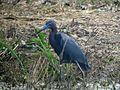 Little Blue Heron - Flickr - GregTheBusker.jpg