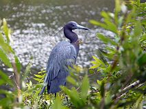 Little Blue Heron 3-01-13.JPG