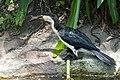Little Pied Cormorant - Andrew Mercer - DSC02576.jpg