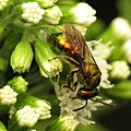 Little Sweat Bee (31840420905).jpg