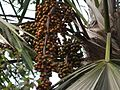 Livistona rotundifolia (4630485901).jpg