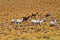 Llamas (32865586192).jpg