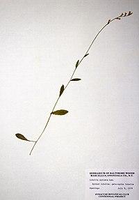 Lobelia spicata var. spicata BW-1979-0709-0424.jpg