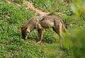 Lobo ibérico 2 (Canis lupus signatus).jpg