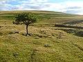 Lone hawthorn below Cox Tor - geograph.org.uk - 212716.jpg