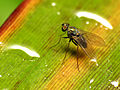 Long-legged Fly (20699007898).jpg