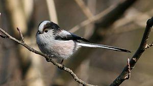 Long-tailed Tit (Aegithalos caudatus)