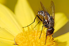 Long tongue tachinid fly.jpg