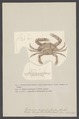 Lupea sanguinolenta - - Print - Iconographia Zoologica - Special Collections University of Amsterdam - UBAINV0274 006 01 0043.tif