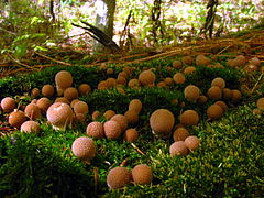 Photo d'un groupe de Lycoperdon pyriformis