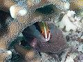 Lyretail grouper juvenile (Variola louti) (40863844353).jpg