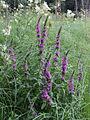 Lythrum salicaria Oulu, Finland 04.07.2013.jpg