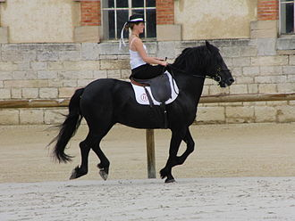 Mérens horse - A Mérens presented in sidesaddle equipment at the Haras de Cluny in 2011